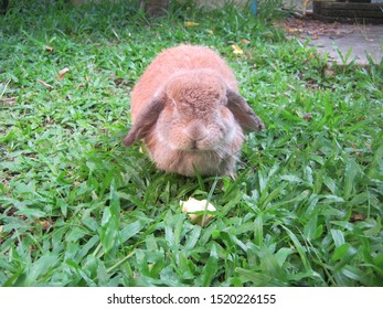 Rabbit, cute brown Holland lop rabbit is eating banana fruit in a garden home. Chiang Mai Thailand.