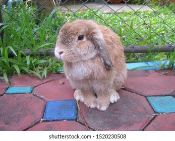 Rabbit, cute brown Holland lop rabbit is sitting in garden home. Chiang Mai Thailand.