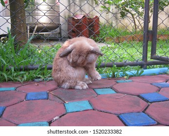 Rabbit, cute brown Holland lop rabbit is cleaning its body in garden home. Chiang Mai Thailand.