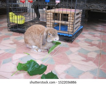 Rabbit, cute brown Holland lop rabbit is eating Mulberry leaf near its cage on the tiled floor at home. Chiang Mai Thailand.