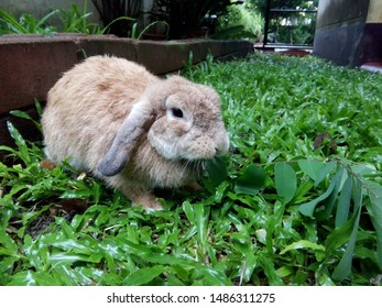 Rabbit, cute brown Holland Lops breed, is eating leaves in the green lawn, in rainy season morning. Its lopped ears are distinctive featuers. Chiang Mai, Thailand.