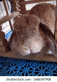 Rabbit, cute brown Holland lops breed, is sleeping in a wooden cage in the house. Chiang Mai, Thailand.