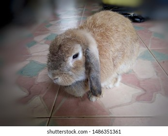 Rabbit, Cute brown Holland lops breed, is sitting on the tile floor in the house. Chiang Mai, Thailand.