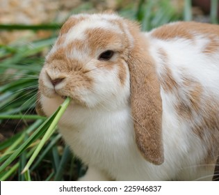 Rabbit eating fresh grass in the garden