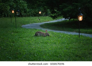 Rabbit Eating Grass in Late Evening