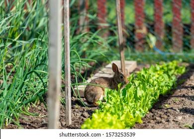 Rabbit eating lettuce in a garden.