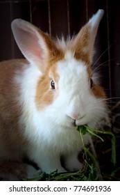 Rabbit is eating vegetables ,animal husbandry.