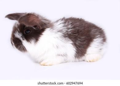 "Rabbit ""French sheep"""
