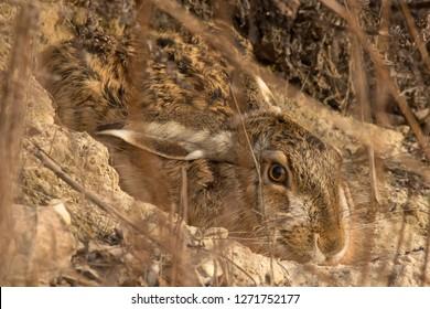 Rabbit, Hare, European hare (Lepus europaeus) hiding in the rabbit hole, mimicry