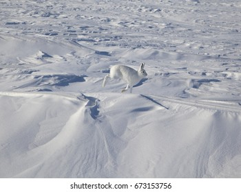Rabbit hare in the tundra in winter, In motion, jumping