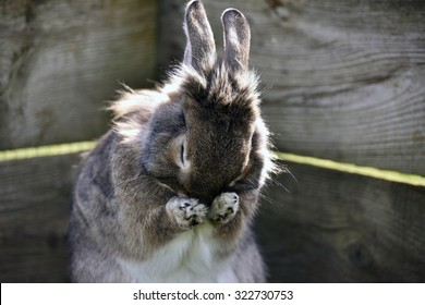 Rabbit with head in paws washing with wooden textured background