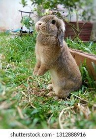 Rabbit, Holland lops breed, cute brown rabbit is standing in a garden home. Chiang Mai,Thailand.