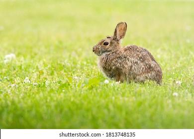 Rabbit Looking on in Rainy Meadow