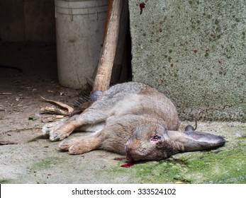Rabbit for lunch, in rural scene.