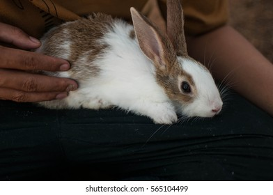 Rabbit lying on lap
