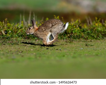 Rabbit, Oryctolagus cuniculus, single mammal running grass,  Skokholm, Wales, August 2019