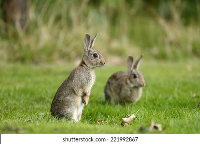 Rabbit, Oryctolagus cuniculus, two mammals on grass, Warwickshire, September 2014