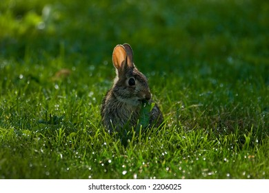 Rabbit in a park field munching on leaf