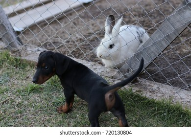 rabbit and puppy dachsund friends