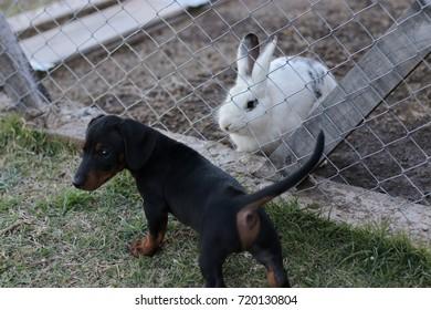 rabbit and puppy dachsund friends