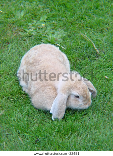 Rabbit resting in the grass