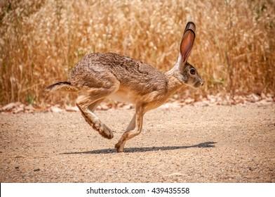 Rabbit Running On Desert Road In Front Of Grass