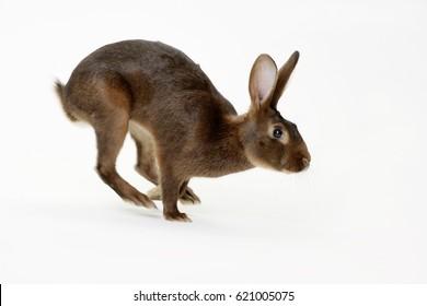 rabbit is running studio shot