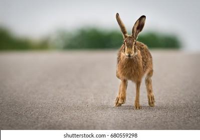 rabbit runs on a street