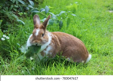 Rabbit sitting on meadow and eating leaf. Close up bunny eating rabbit on the green background. Red and white rabbit eating grass in the garden. Cute foods rabbit in summer sunny day eating meal.