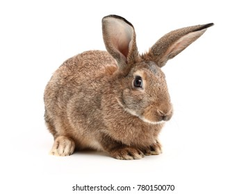 Rabbit sitting on white background