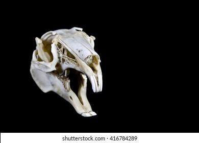 Rabbit Skull on Black Background