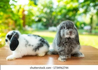 rabbit sleep on ground, bunny pet, holland lop
