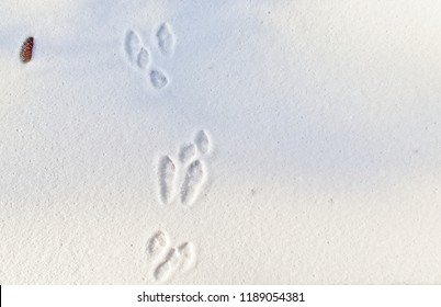 Rabbit tracks in the fresh snow.