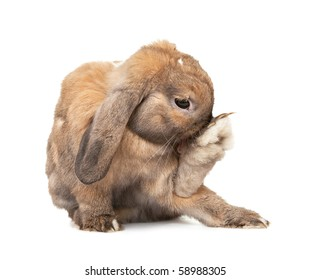 Rabbit washes. Dwarf lop-eared rabbit breeds Ram. In the Oriental calendar 2011 - the year of rabbit.