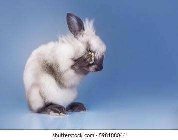 rabbit washing on blue background, grey smoky Easter rabbit, closed eyes, studio