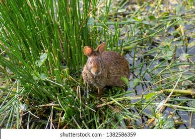 rabbit in the water of wetland swamp
