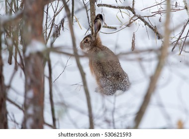 Rabbit in the winter forest