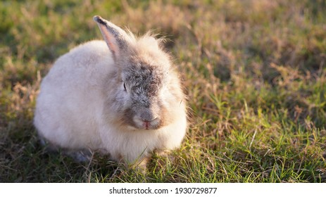Rabbit in yellowish grass  field in nature. Bunny play lively in forest in sunset safely. Golden warm light of morning or evening  as life begin in Easter day.