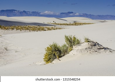 Rabbitbrush growing on White Sands National Monument dunes. This tall, grayish-green shrub produces hundreds of tiny golden flowers in late summer.