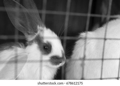 Rabbits in a cage. Slovakia