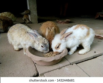 Rabbits are eating ready-made food for rabbits from tray together.They are grown rabbits and have different fur, such as brown, white, striped.They like to pair together as lovers. Phrae Thailand.