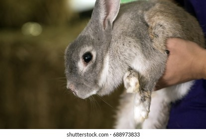 Rabbits of the family Leporidae