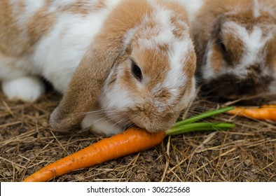 Rabbits ( Holland Lop ) eating carrot on the ground, close up.
