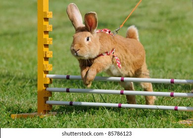 Rabbits with the jump competition rabbit-hop the rabbit hop is the new sport for kids they learn to work patiently with animals