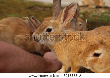 Rabbits On Okunoshima Rabbit Island Japan