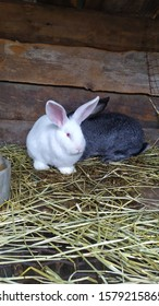 rabbits for setkey beautiful amonog senana ulice - Shutterstock ID 1579215865