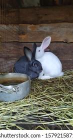 rabbits for setkey beautiful amonog senana ulice - Shutterstock ID 1579215871