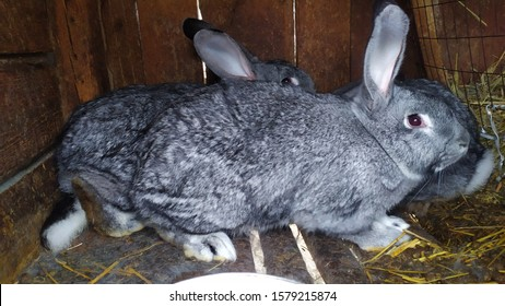 rabbits for setkey beautiful amonog senana ulice - Shutterstock ID 1579215874