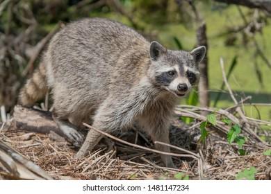 Rabid Raccoon coming out of woods
