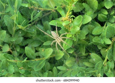 Rabid wolf spider inspecting its web in a boxwood bush.